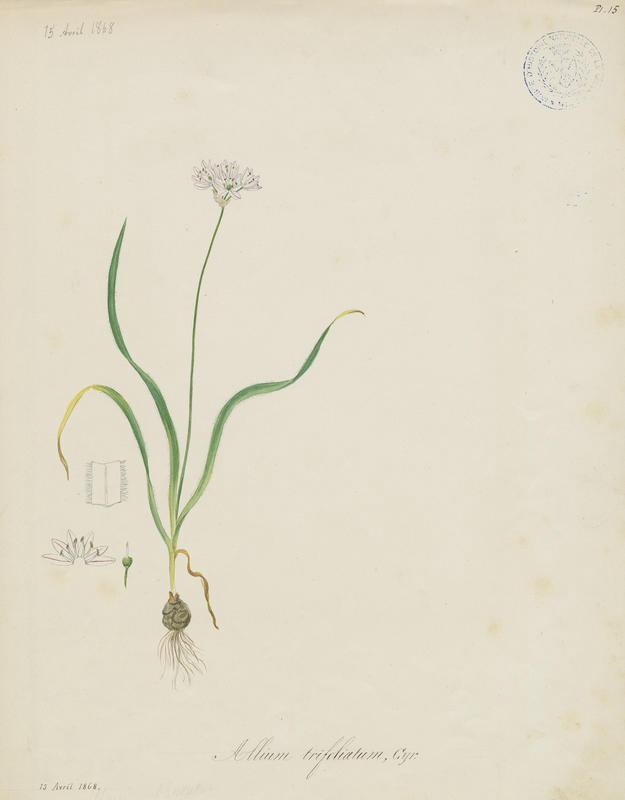 BARLA Jean-Baptiste (attribué à) : Ail à trois feuilles, plante à fleurs