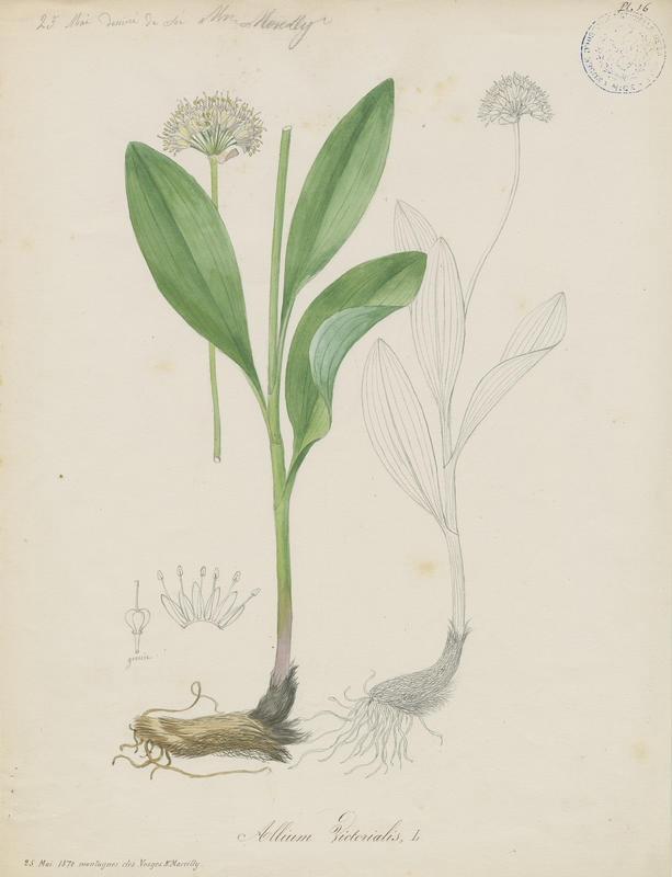 Ail de cerf ; Ail victoriale ; Herbe à neuf chemises ; Ail de la Sainte-Victoire ; plante à fleurs_0
