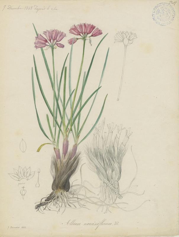 BARLA Jean-Baptiste (attribué à) : Ail à fleur de Narcisse, plante à fleurs