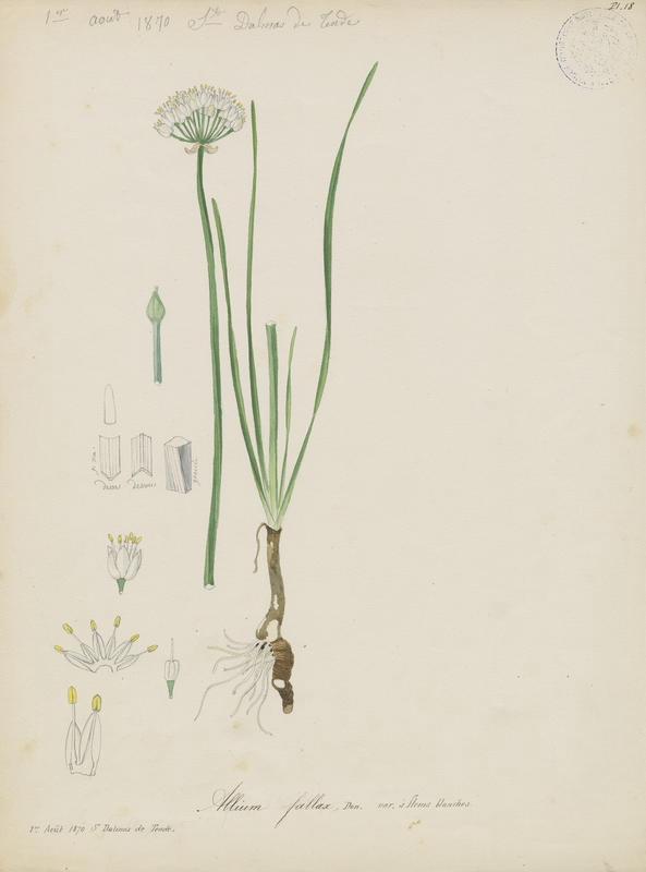 BARLA Jean-Baptiste (attribué à) : Ail des collines, plante à fleurs