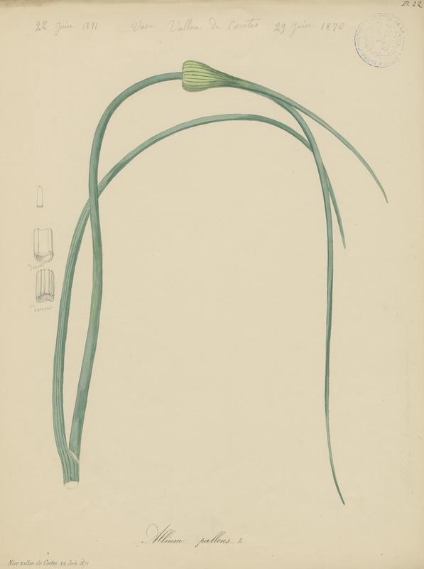 BARLA Jean-Baptiste (attribué à) : Ail pâle, plante à fleurs