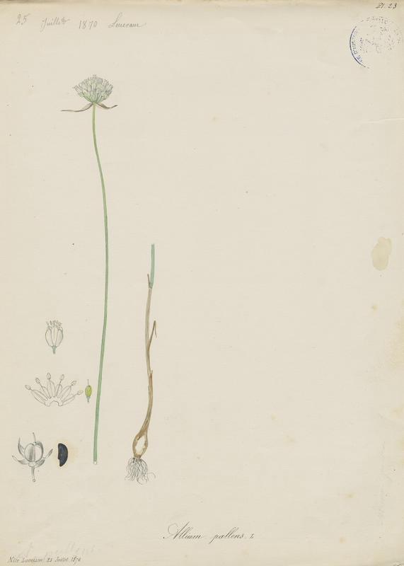 Ail pâle ; plante à fleurs
