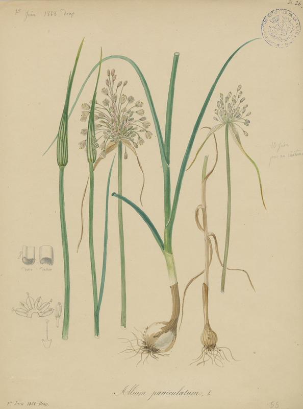 FOSSAT Vincent (aquarelliste, peintre) : Ail en panicule, plante à fleurs