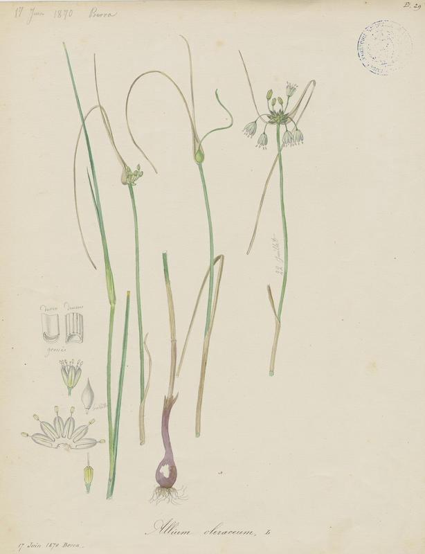 BARLA Jean-Baptiste (attribué à) : Ail des jardins, plante à fleurs