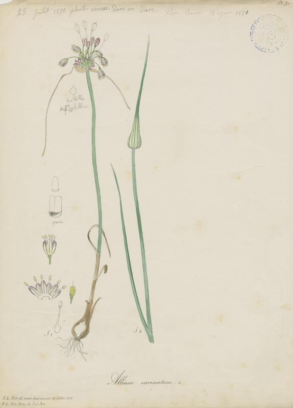Ail à pétales carénés ; plante à fleurs_0