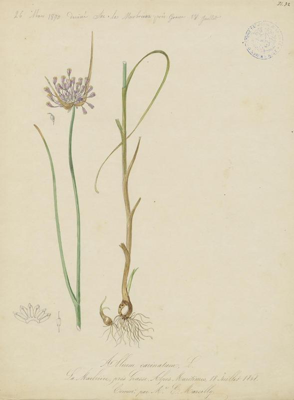 BARLA Jean-Baptiste (attribué à) : Ail à pétales carénés, plante à fleurs