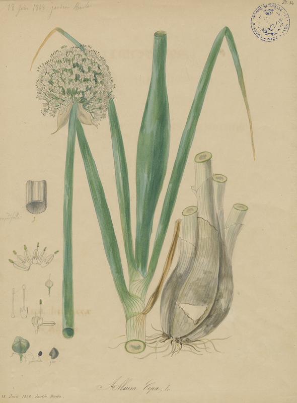 BARLA Jean-Baptiste (attribué à) : Echalote, plante à fleurs