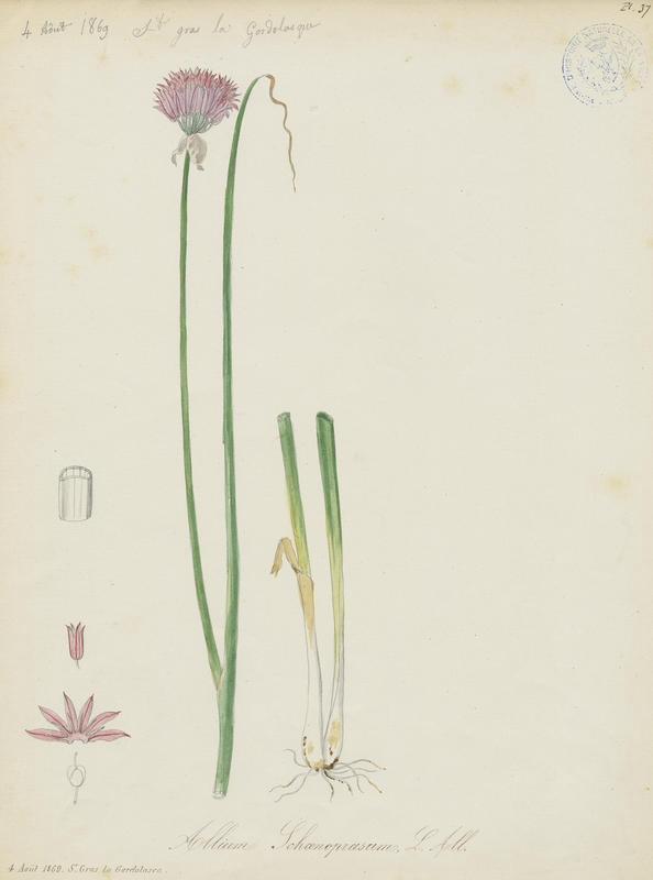 Ciboulette ; Ciboule ;  Civette ; plante à fleurs_0