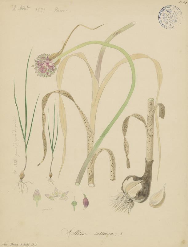 Ail ; Ail commun ; Ail cultivé ; plante à fleurs_0