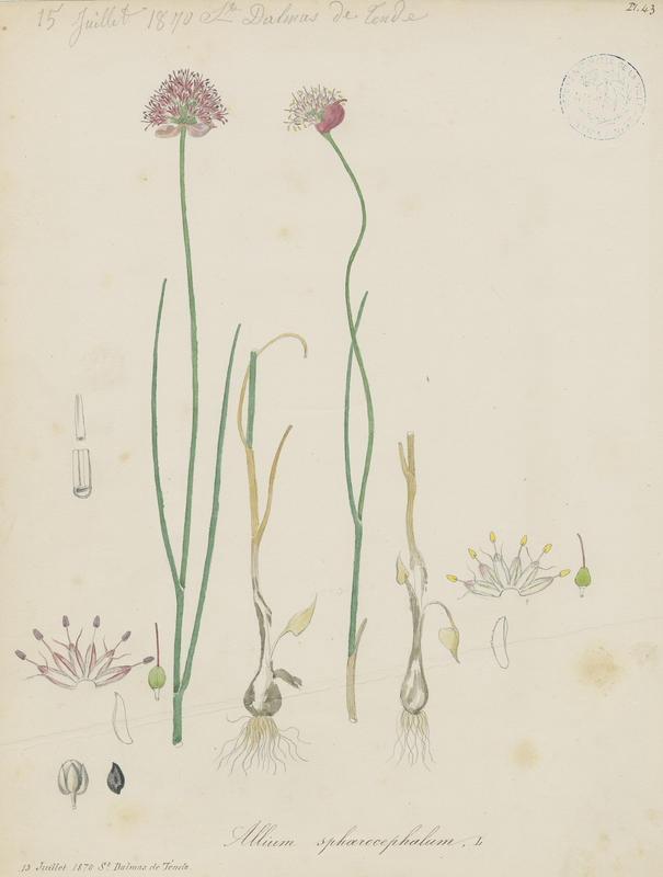 BARLA Jean-Baptiste (attribué à) : Ail à tête ronde, plante à fleurs