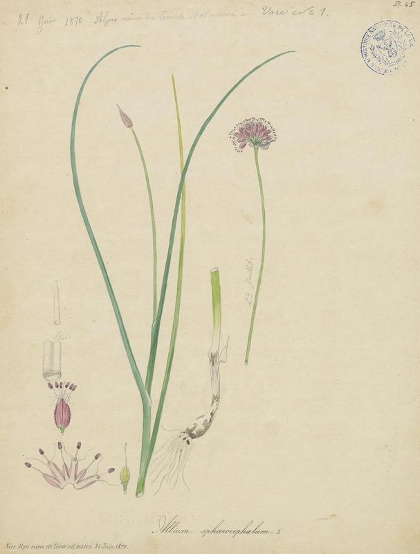 Ail à tête ronde ; plante à fleurs_0