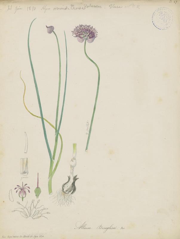 Ail à tête ronde de Deséglise ; Ail de Déséglise ; plante à fleurs_0