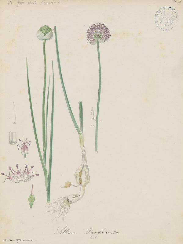 BARLA Jean-Baptiste (attribué à) : Ail à tête ronde de Deséglise, Ail de Déséglise, plante à fleurs