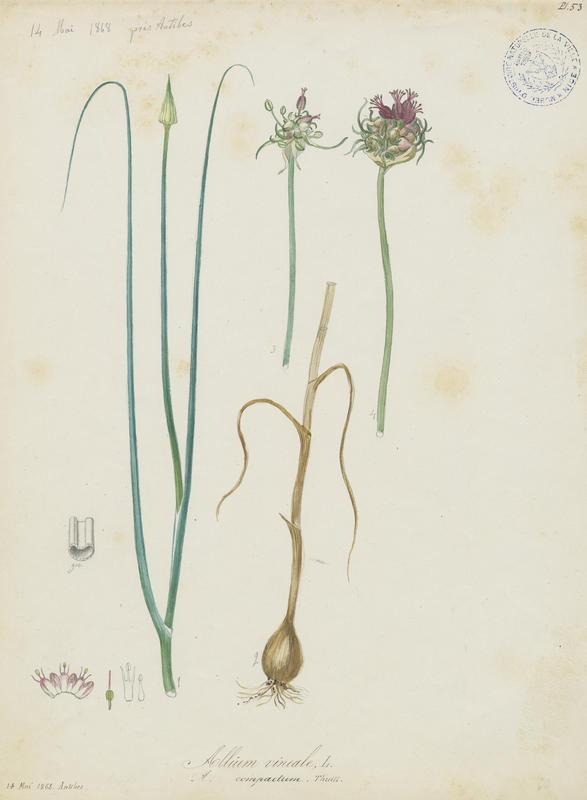 Ail des vignes ; plante à fleurs_0