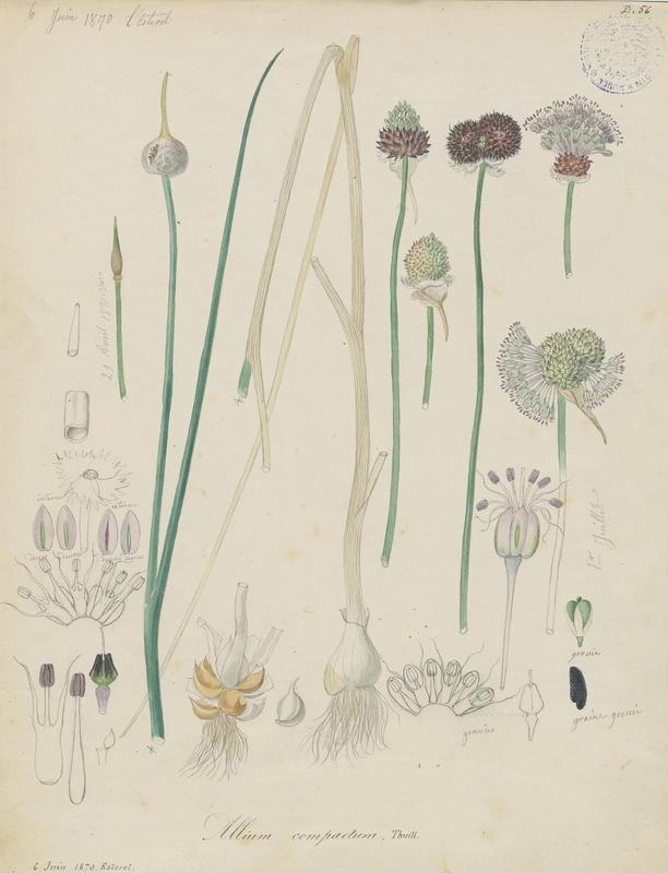 BARLA Jean-Baptiste (attribué à) : Ail des vignes, plante à fleurs