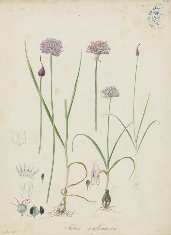 BARLA Jean-Baptiste (attribué à) : Ail à fleurs aiguës, plante à fleurs