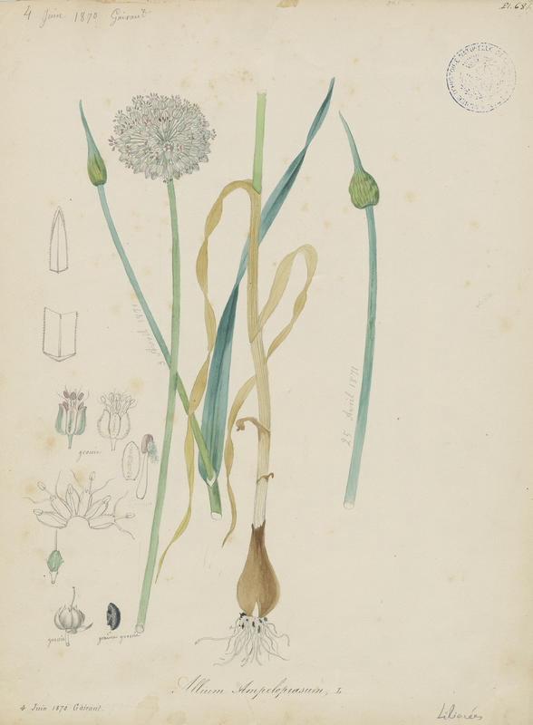 BARLA Jean-Baptiste (attribué à) : Ail faux poireau, plante à fleurs
