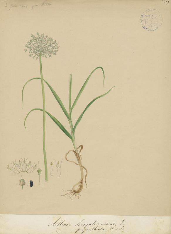 Ail faux poireau ; plante à fleurs_0