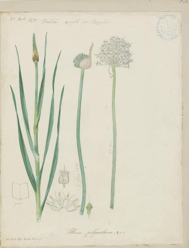 BARLA Jean-Baptiste (attribué à) : Poireau, plante à fleurs