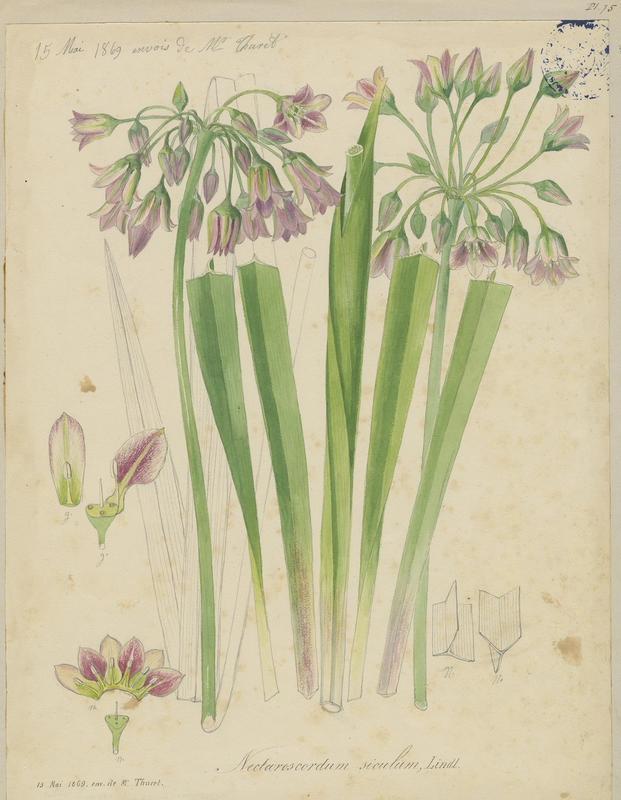 Ail de Sicile ; plante à fleurs_0
