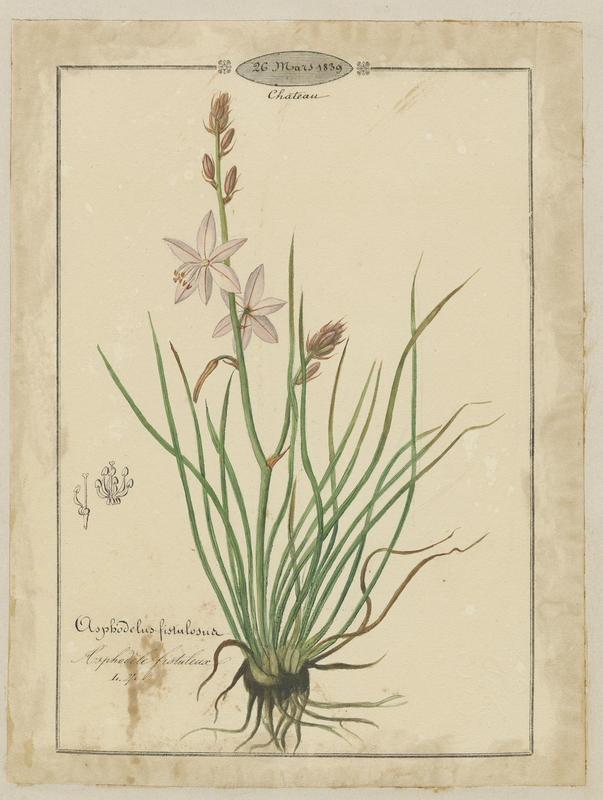 Asphodèle fistuleuse ; plante à fleurs_0