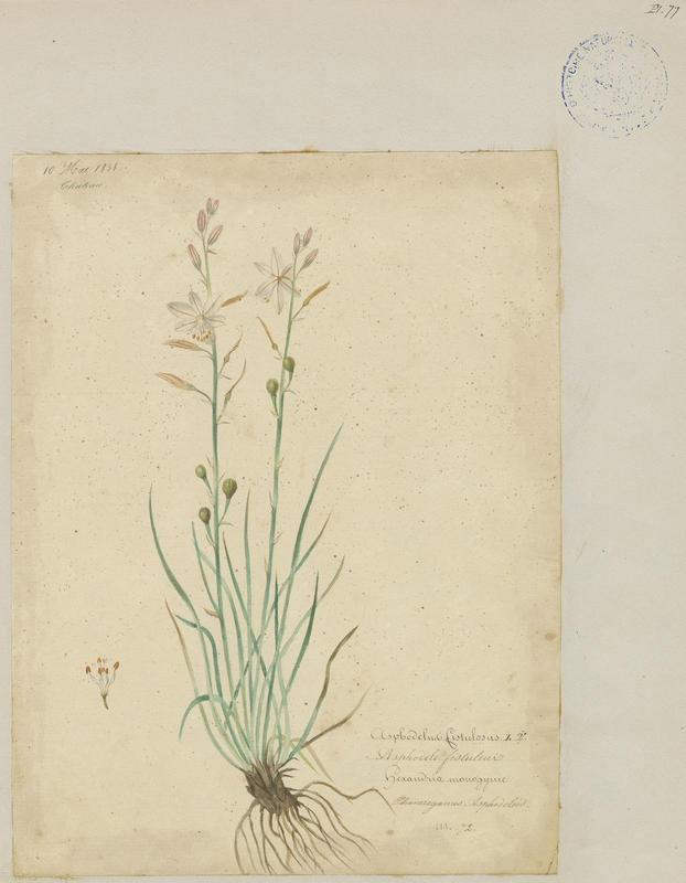 BARLA Jean-Baptiste (attribué à) : Asphodèle fistuleuse, plante à fleurs