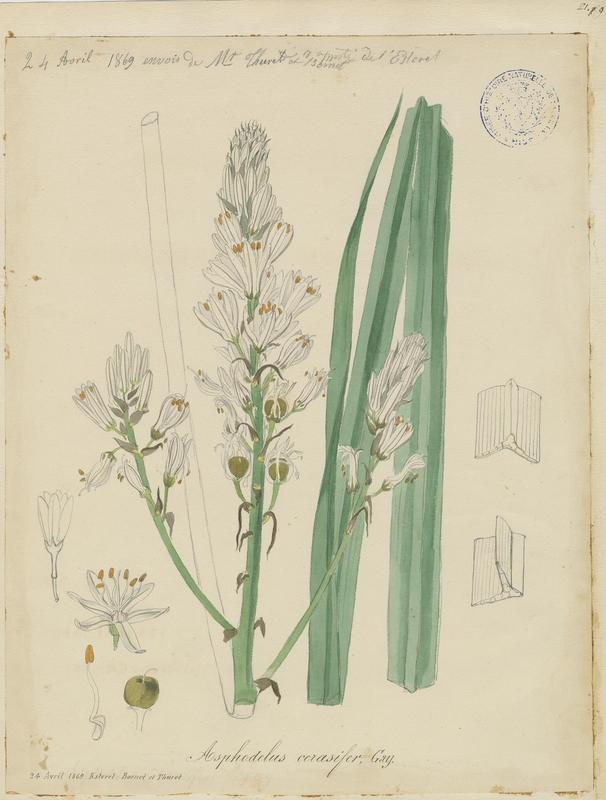 Asphodèle de Chambeiron ; Asphodèle-cerise ; plante à fleurs_0