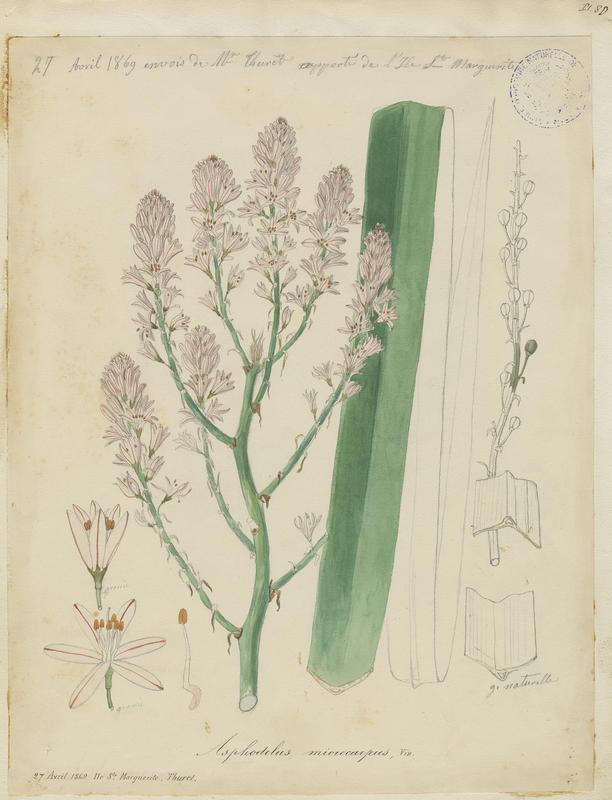 BARLA Jean-Baptiste (attribué à) : Asphodèle ramifié, Asphodèle à petits fruits, plante à fleurs