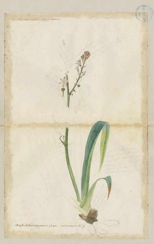 Asphodèle ramifié ; Asphodèle à petits fruits ; plante à fleurs_0