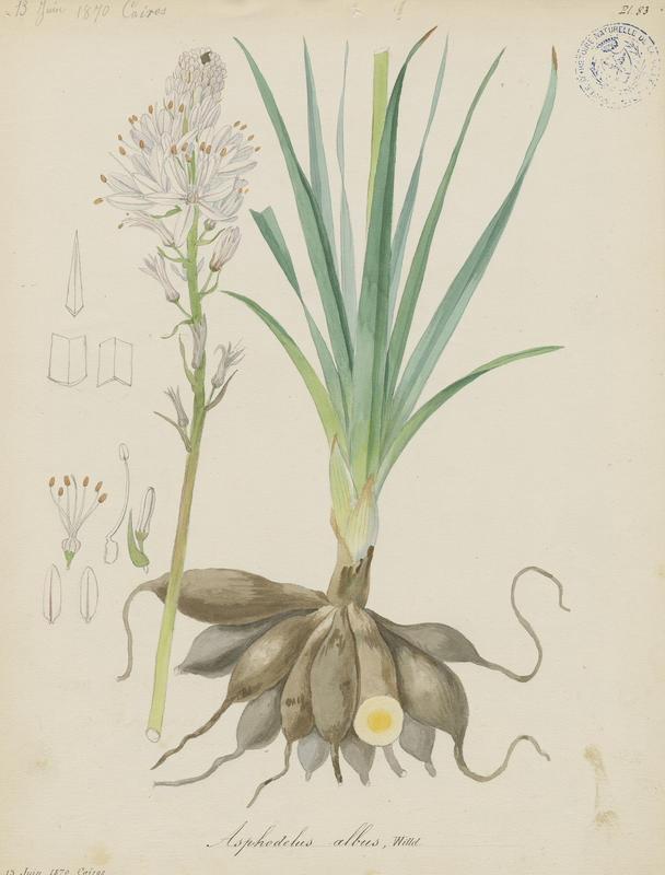 BARLA Jean-Baptiste (attribué à) : Asphodèle blanc, plante à fleurs