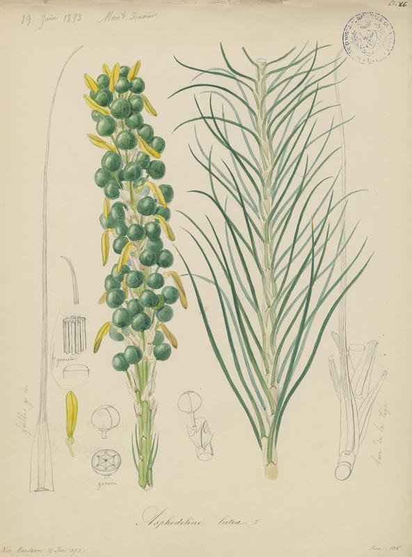 BARLA Jean-Baptiste (attribué à) : Asphodeline jaune, Bâton de Jacob, plante à fleurs