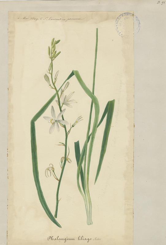 Anthéricum à fleurs de lis ; Phalangère à fleurs de lis ; plante à fleurs_0