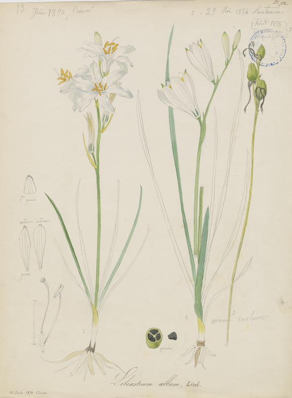 BARLA Jean-Baptiste (attribué à) : Lis des Alpes, Paradisie, Lis de saint Bruno, plante à fleurs