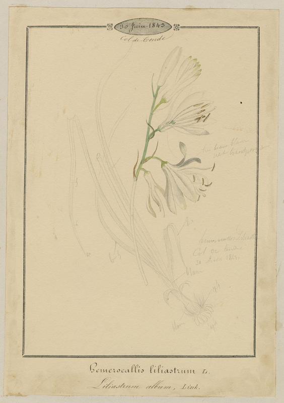 Lis des Alpes, Paradisie ; Lis de saint Bruno ; plante à fleurs_0