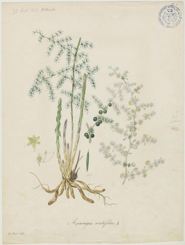 Asperge à feuilles aiguës ; Asperge sauvage ; plante à fleurs_0