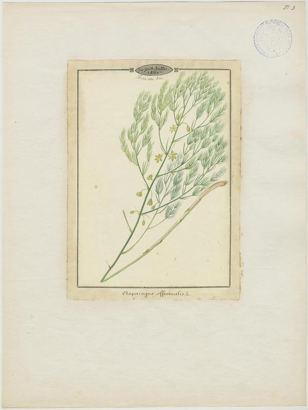 BARLA Jean-Baptiste (attribué à) : Asperge, Asperge officinale, plante à fleurs