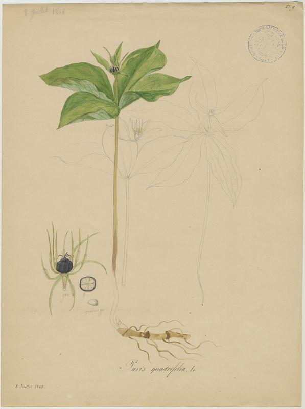 Parisette à quatre feuilles ; Étrangle loup ; plante à fleurs_0