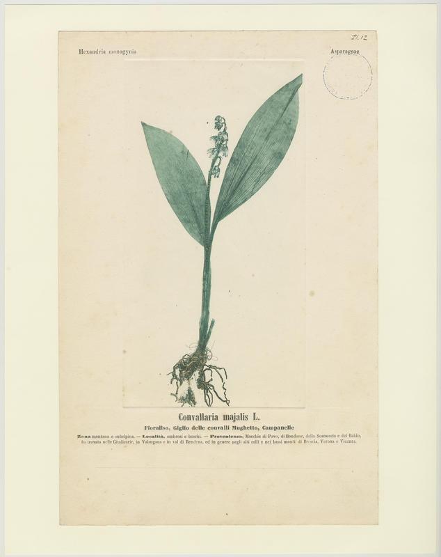 Muguet ; Campanelle ; plante à fleurs_0