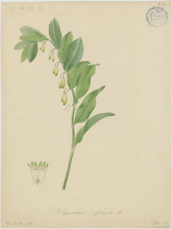 Sceau-de-Salomon odorant ; plante à fleurs_0