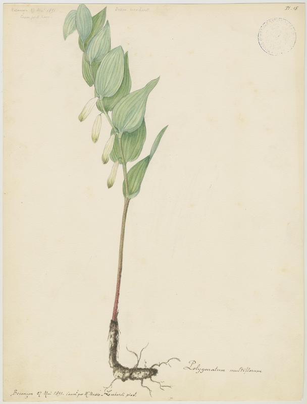 Sceau de Salomon multiflore ; Polygonate multiflore ; plante à fleurs