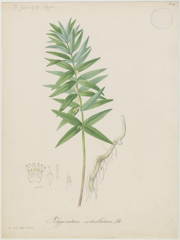 BARLA Jean-Baptiste (attribué à) : Sceau de Salomon verticillé, Muguet verticillé, plante à fleurs