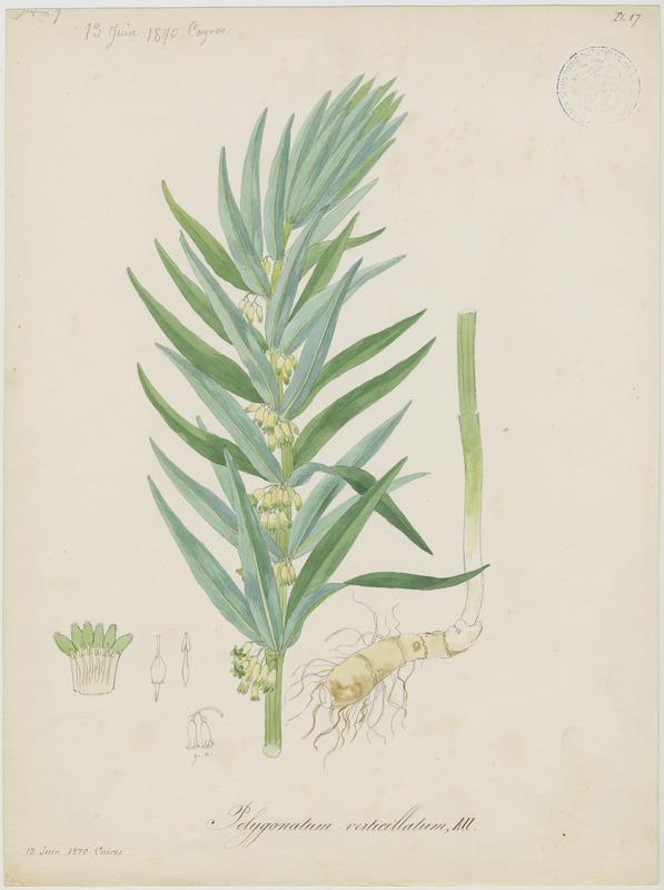 Sceau de Salomon verticillé ; Muguet verticillé ; plante à fleurs