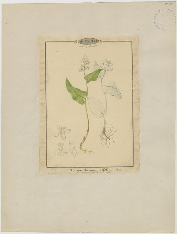BARLA Jean-Baptiste (attribué à) : Muguet des bois, plante à fleurs