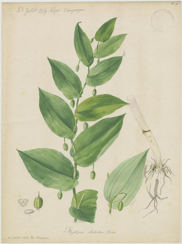 Streptope à feuilles embrassantes ; Uvulaire ; Uvulaire à feuilles embrassantes ; Sceau-de-Salomon rameux ; plante à fleurs