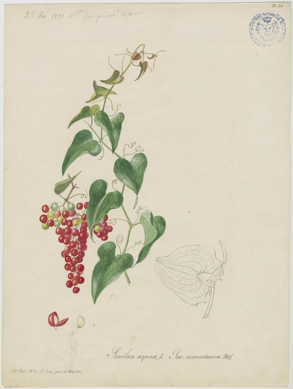Smilax rude ; plante à fleurs
