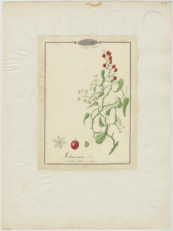 BARLA Jean-Baptiste (attribué à) : Smilax rude, plante à fleurs