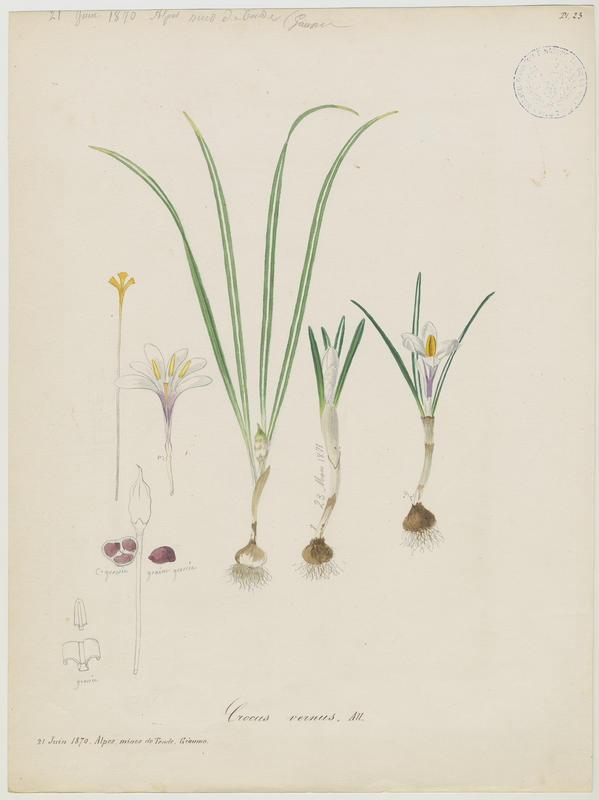 Crocus blanc ; plante à fleurs_0