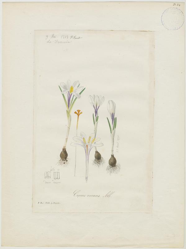 FOSSAT Vincent (aquarelliste, peintre) : Crocus blanc, plante à fleurs