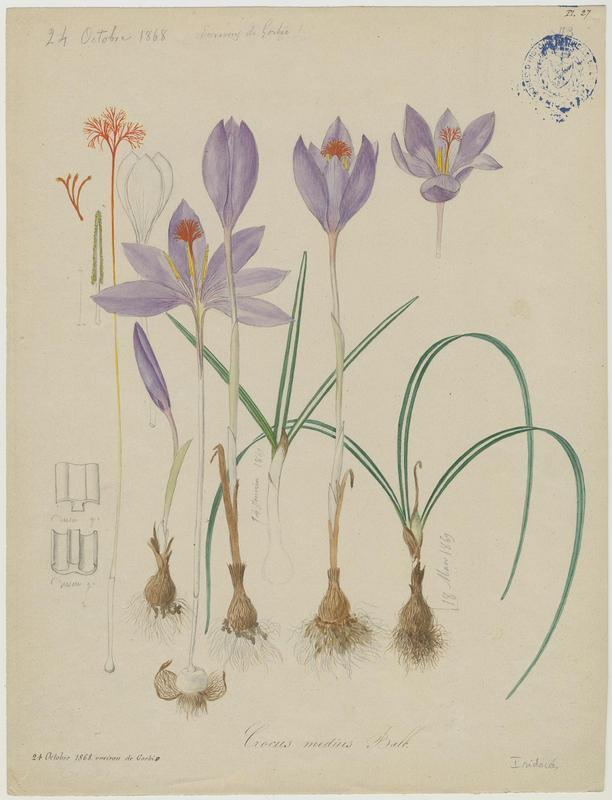 Crocus de Ligurie ; plante à fleurs_0