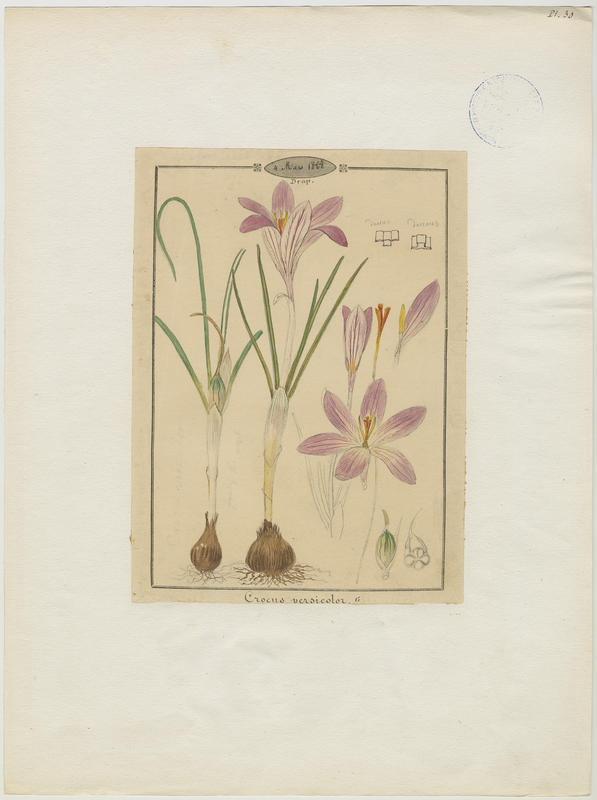 Safran méridional ; plante à fleurs_0